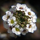 Lil White Bell Cluster by Anthony Roma