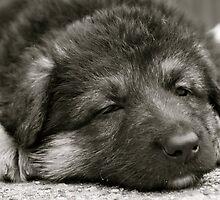 German Shepherd Puppy by Lou Wilson