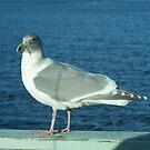 Seagull 5 by Larry Kohlruss