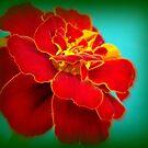 Marigold Radiance by PatChristensen