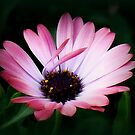 The African Pink Sway by PatChristensen
