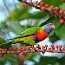Rainbow Lorikeet. Cedar Creek, Queensland, Australia. (3) by Ralph de Zilva
