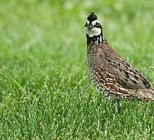 Northern Quail ~ Bob White by barnsis