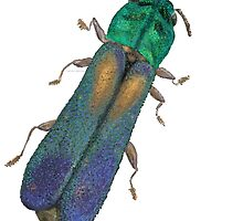 Xenorhipus - Jewel Beetle by Glendon Mellow