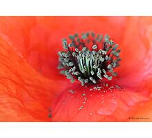 Wild poppy Photographic Print