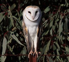 Barn Owl by mosaicavenues
