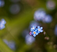 Forget me not flowers by Vicki Field