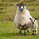 Mother Sheep & Lamb by Margaret S Sweeny