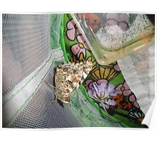 painted lady butterfly that we raised Poster