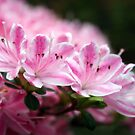 Raspberry ripple azaleas by hjaynefoster