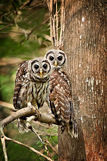 Barred Owl Pair by Bonnie T.  Barry