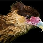 Crested Caracara by alan tunnicliffe
