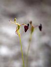 King in his Carriage Orchid by Leonie Mac Lean