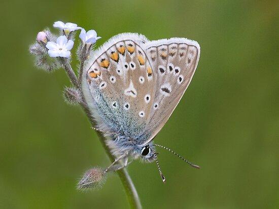 First Common blue of 2012 by Stacey  Purkiss