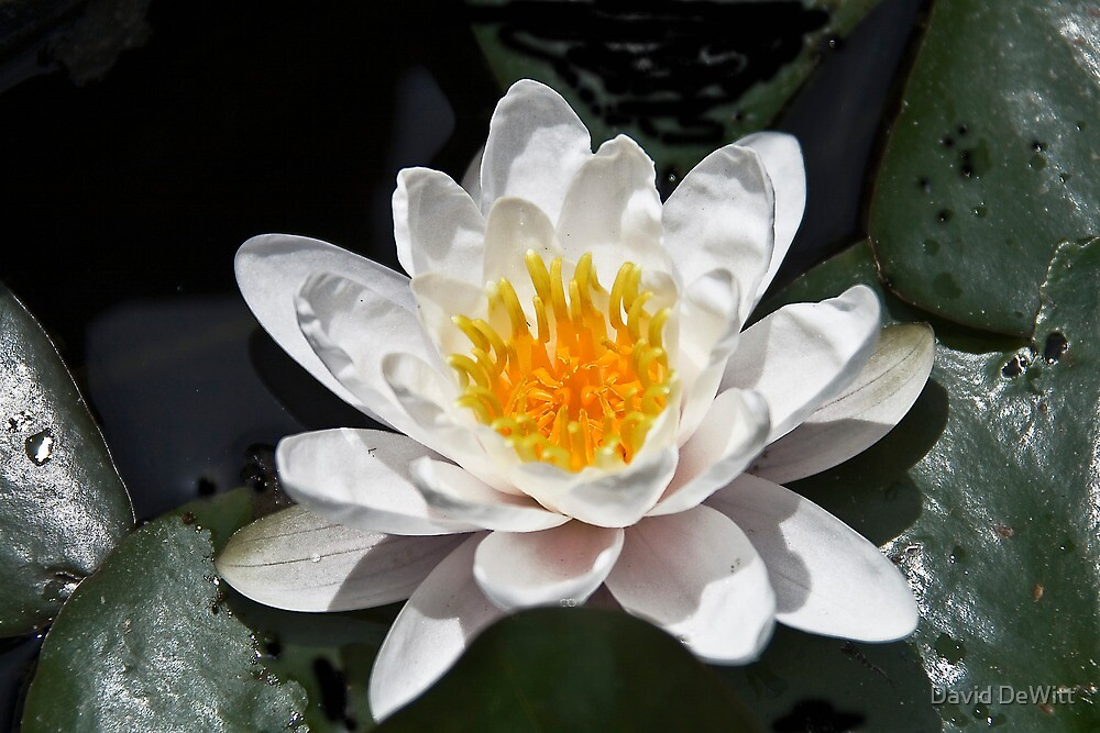 Super Water Lilly by David DeWitt