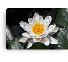 Super Water Lilly Canvas Print