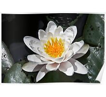 Super Water Lilly Poster