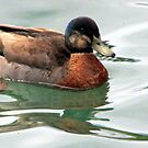 Duck Reflections by Laurel Talabere