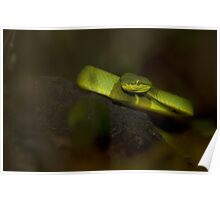 Bamboo Pit Viper Poster