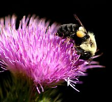 Bumble Bee On A Thistle Flower by Gene Walls