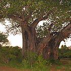 Tree hugger! by Explorations Africa Dan MacKenzie