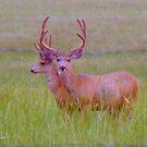 Two headed deer by Margot Ardourel