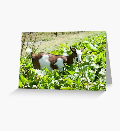Domestic Pygmy Goat grazing in a field  Greeting Card