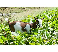 Domestic Pygmy Goat grazing in a field  Photographic Print