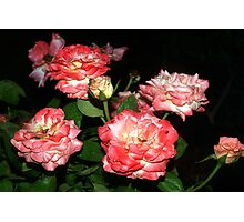 Peachy-pink rose bush Photographic Print