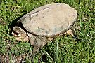 Common Snapping Turtle  by barnsis