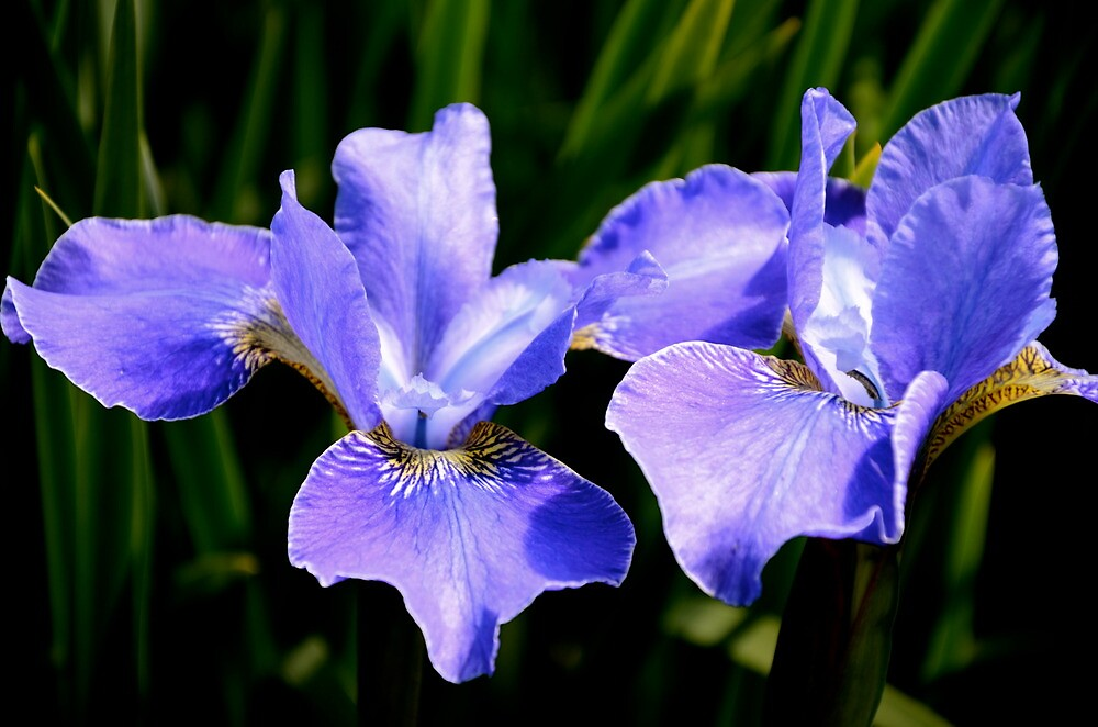Irresistible Irises by Carol Clifford