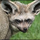 Bat Eared Fox by alan tunnicliffe