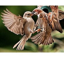 House Sparrows Photographic Print
