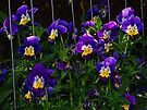 Beautiful Purple Violas by Tori Snow