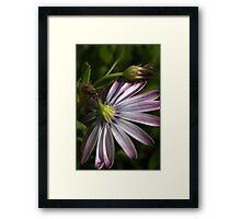 Winters Daisy Framed Print