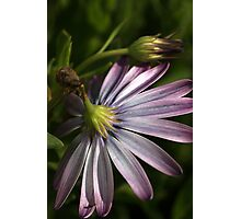Winters Daisy Photographic Print