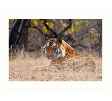 Mature male Bengal Tiger Art Print