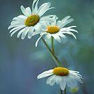 Daisy Blues by Donna-R