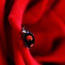 Black ladybug in red rose by PhotoTamara