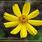 Thelesperma Filifolium by artsandherbs