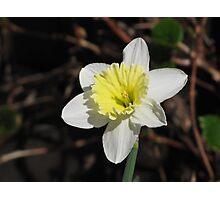 I'm A Daffodil And I'm Okay!  Photographic Print