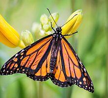 Monarch at Sarett by Robert Kelch, M.D.