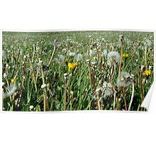 sea of dandelions Poster