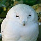 Snowy Owl by Vac1