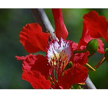 Close Up - Flamboyant I - Primer Plano   Photographic Print