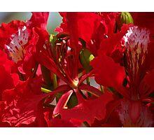 Close Up - Flamboyant II - Primer Plano   Photographic Print