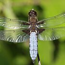 Fat Dragonfly by Robert Abraham