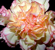 Sweet Carnation by Lynda Lehmann