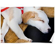 Domestic dog sleeping Poster