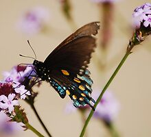 Pipevine Swallowtail by Ron Hannah